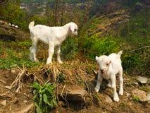 Capre bianche in un villaggio rurale, viaggio del bambino in montagna dell'Himalaya Immagini Stock Libere da Diritti