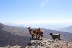Capre che godono della vista nell'Oman fotografie stock