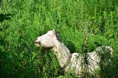 Capre che mangiano erba Fotografia Stock