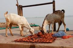 Capre che mangiano le oblazioni Varanasi/India fotografia stock libera da diritti
