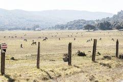 Capre che pascono pacificamente sul prato della valle fotografia stock libera da diritti