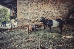 Capre che pascono vicino alla casa di campagna nel villaggio di Kathmandu nel Nepal Immagini Stock