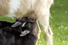Capre d'alimentazione del bambino della capra della madre con latte Fotografia Stock