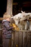 capre d'alimentazione del ragazzo Fotografie Stock