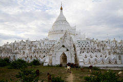 Capre davanti alla pagoda bianca nel mingun, myanmar Fotografia Stock Libera da Diritti