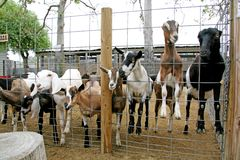 Capre del Animale-Billy dell'azienda agricola Fotografie Stock Libere da Diritti
