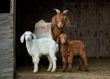 Capre del bambino e della madre in tettoia sull'azienda agricola fotografia stock