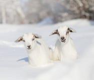 Capre del bambino nell'inverno Fotografia Stock