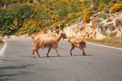 Capre del Cretan sulla strada Immagini Stock Libere da Diritti