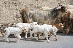 Capre del Kashmir dall'azienda agricola indiana dell'altopiano Fotografia Stock Libera da Diritti