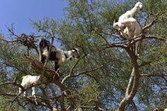 Capre dell'albero nel Marocco fotografia stock libera da diritti