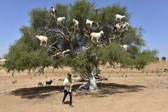 Capre dell'albero nel Marocco con il capraio fotografia stock libera da diritti