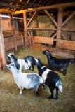 Capre dell'azienda agricola dentro un granaio Fotografie Stock