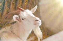 Capre di allevamento di agricoltura Ritratto bianco della capra Fotografie Stock