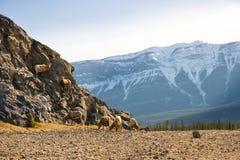 Capre di Jasper Mountain Fotografie Stock Libere da Diritti