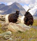 Capre di montagna Fotografie Stock