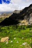 Capre di montagna alla sosta nazionale del ghiacciaio immagini stock libere da diritti