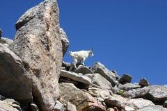 Capre di montagna che si arrampicano sulle rocce Fotografia Stock Libera da Diritti
