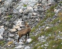 Capre di montagna selvagge Immagine Stock