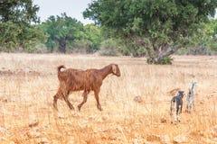 Capre di Morrocan nel campo Fotografia Stock