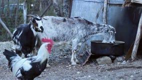 Capre e gallinacei nell'iarda archivi video