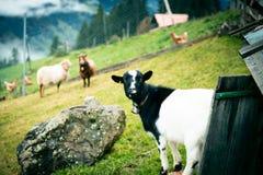 Capre e pecore Immagini Stock