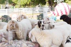 Capre e pecore in agricoltura e natura degli animali da allevamento Fotografie Stock Libere da Diritti