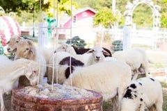 Capre e pecore in agricoltura e natura degli animali da allevamento Fotografie Stock