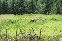 Capre ed agnelli che pascono sull'erba succosa della foresta 2 immagine stock libera da diritti
