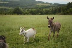 Capre ed asino sul pascolo fotografie stock libere da diritti