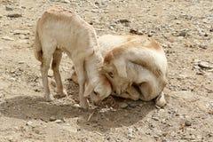 Capre in Etiopia: Amore del ` s della madre Immagine Stock