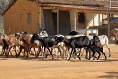 Capre nel Caatinga del Brasile Fotografie Stock Libere da Diritti