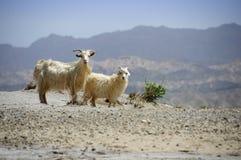 Capre nel deserto, bacino di Tarim, Xinjiang, Cina Fotografia Stock