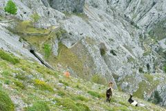Capre nel panorama del paesaggio della montagna in itinerario di trekking di cure, Asturie immagine stock