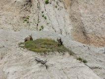 Capre nel parco nazionale dei calanchi fotografia stock libera da diritti