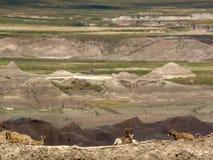 Capre nel parco nazionale dei calanchi fotografia stock
