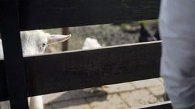 Capre nel recinto per bestiame video d archivio
