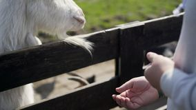 Capre nel recinto per bestiame archivi video