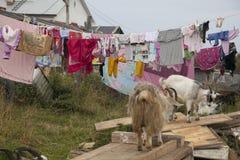 Capre nel villaggio della Carelia Fotografie Stock Libere da Diritti