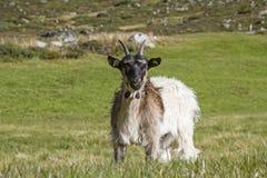 Capre nella valle di Zwieselbach nel Tirolo fotografia stock libera da diritti