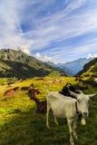 Capre nelle montagne Fotografia Stock Libera da Diritti