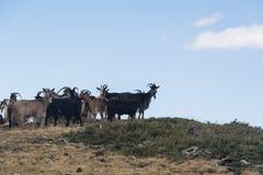 capre nelle montagne della Corsica Fotografia Stock Libera da Diritti