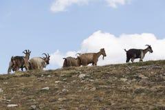 capre nelle montagne della Corsica Immagini Stock Libere da Diritti