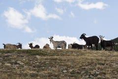 capre nelle montagne della Corsica Immagine Stock Libera da Diritti
