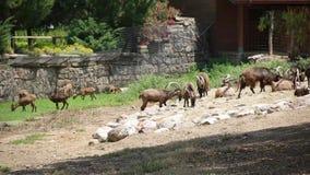 Capre nello zoo Smirne - la Turchia archivi video