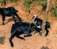 Capre nere che riposano sul suolo nel villaggio di Kathmandu nel Nepal Immagini Stock