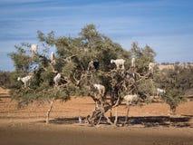Capre rampicanti dell'albero nel Marocco Immagini Stock Libere da Diritti