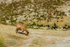 Capre selvagge Fotografia Stock Libera da Diritti