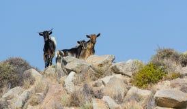Capre selvagge nell'isola di Milo, Grecia Immagini Stock