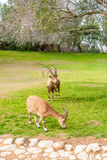 Capre selvatiche in Negev immagini stock libere da diritti